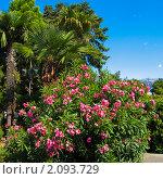 Купить «Пальмы и розовый олеандр, Крым», фото № 2093729, снято 23 августа 2009 г. (c) ИВА Афонская / Фотобанк Лори