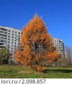 Лиственница осенью на фоне панельного дома. Стоковое фото, фотограф Сергей Зуев / Фотобанк Лори