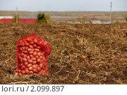 Урожай картофеля. Стоковое фото, фотограф Сергей Ксенофонтов / Фотобанк Лори