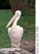 Купить «Пеликан», фото № 2101705, снято 5 октября 2010 г. (c) Руслан Кудрин / Фотобанк Лори