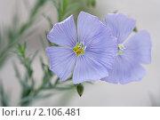 Купить «Лен. Linum», эксклюзивное фото № 2106481, снято 27 июля 2010 г. (c) Шичкина Антонина / Фотобанк Лори