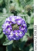 Купить «Вербена. Verbena», эксклюзивное фото № 2109333, снято 15 июля 2010 г. (c) Шичкина Антонина / Фотобанк Лори