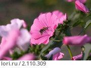 Медоносная пчела. Стоковое фото, фотограф Сергей Землянов / Фотобанк Лори
