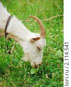 Купить «Коза, профиль, крупный план», фото № 2114541, снято 3 июля 2010 г. (c) Светлана Зарецкая / Фотобанк Лори