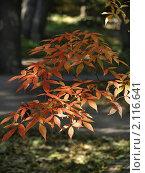 Купить «Ветка с осенними листьями», фото № 2116641, снято 25 сентября 2010 г. (c) Самойлова Екатерина / Фотобанк Лори