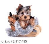 Купить «Щенок йоркширского терьера», фото № 2117485, снято 20 декабря 2009 г. (c) Cветлана Гладкова / Фотобанк Лори