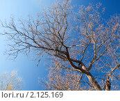 Ветки дуба на фоне голубого неба. Стоковое фото, фотограф Назвин Алексей / Фотобанк Лори