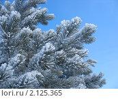 Купить «Ветки сосны в инее - зимний фон», фото № 2125365, снято 8 января 2007 г. (c) Светлана Ильева (Иванова) / Фотобанк Лори