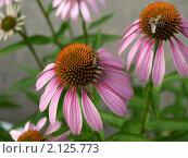 Купить «Пчёлы собирают мёд с цветов эхинацеи пурпурной», фото № 2125773, снято 5 июля 2010 г. (c) Самойлова Екатерина / Фотобанк Лори