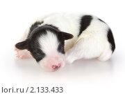Купить «Новорожденный щенок папильона», фото № 2133433, снято 10 ноября 2010 г. (c) Сергей Лаврентьев / Фотобанк Лори