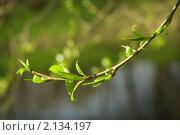 Весенняя листва. Стоковое фото, фотограф Вадим Субботин / Фотобанк Лори