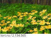 Купить «Лютик весенний, чистяк в лесу», эксклюзивное фото № 2134565, снято 5 мая 2009 г. (c) Алёшина Оксана / Фотобанк Лори