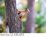 Купить «Белка на дереве», фото № 2135473, снято 31 августа 2010 г. (c) Андрей Павлов / Фотобанк Лори