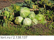 Сбор урожая. Капуста белокочанная. Стоковое фото, фотограф lana1501 / Фотобанк Лори