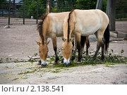 Купить «Лошади Пржевальского едят траву и листья в зоопарке», фото № 2138541, снято 5 июля 2008 г. (c) Андрей Востриков / Фотобанк Лори