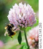 Купить «Шмель на цветке клевера», эксклюзивное фото № 2141293, снято 19 июля 2009 г. (c) Ольга Пашкова / Фотобанк Лори
