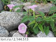 Вьюнок обживает прибрежные камни-голыши. Стоковое фото, фотограф Евгений Ковешников / Фотобанк Лори