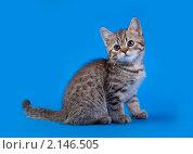 Купить «Шотландский котенок на голубом фоне», фото № 2146505, снято 16 октября 2010 г. (c) Cветлана Гладкова / Фотобанк Лори