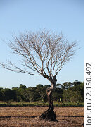 Сухое одинокое дерево. Стоковое фото, фотограф Ольга Зенухина / Фотобанк Лори