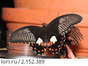 Купить «Бабочка Pachliopta Aristolochia», фото № 2152389, снято 21 ноября 2010 г. (c) Иванова Анастасия / Фотобанк Лори