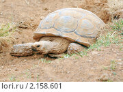 Африканская шпороносная черепаха (Аfrican Spur Thigh Tortoise; Sulcata Tortois) Стоковое фото, фотограф Аnna Ivanova / Фотобанк Лори