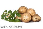 Купить «Клубни картофеля с цветком», фото № 2159849, снято 4 июля 2010 г. (c) Андрей Рыбачук / Фотобанк Лори