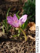 Купить «Колхикум, или безвременник (Colchicum)», эксклюзивное фото № 2163229, снято 26 сентября 2010 г. (c) lana1501 / Фотобанк Лори