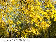 Купить «Золотая ветка», фото № 2170645, снято 24 октября 2010 г. (c) ИВА Афонская / Фотобанк Лори
