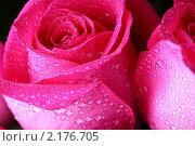Купить «Роза», фото № 2176705, снято 3 апреля 2009 г. (c) Иван Михайлов / Фотобанк Лори