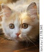 Молодая персидская кошка. Стоковое фото, фотограф Yury Ivanov / Фотобанк Лори