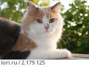 Молодая персидская кошка, лежащая на подоконнике. Стоковое фото, фотограф Yury Ivanov / Фотобанк Лори