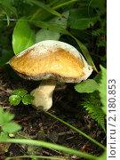 Белый гриб. Стоковое фото, фотограф Марина Когута / Фотобанк Лори