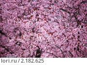 Купить «Сакура», фото № 2182625, снято 7 апреля 2010 г. (c) Иван Михайлов / Фотобанк Лори