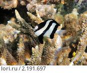 Купить «Тропическая рыбка на коралловом рифе в Красном море, Египет», фото № 2191697, снято 12 января 2010 г. (c) Михаил Марковский / Фотобанк Лори