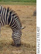 Купить «Голова зебры», фото № 2193437, снято 21 ноября 2010 г. (c) Юлия Севастьянова / Фотобанк Лори