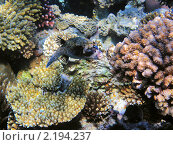 Купить «Тропическая рыбка на коралловом рифе в Красном море, Египет», фото № 2194237, снято 12 января 2010 г. (c) Михаил Марковский / Фотобанк Лори