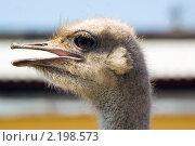 Купить «Портрет страуса с открытым клювом в профиль», эксклюзивное фото № 2198573, снято 24 мая 2007 г. (c) Игорь Низов / Фотобанк Лори