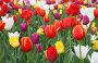 Поле разноцветных тюльпанов, фото № 2199429, снято 14 мая 2010 г. (c) Наталья Волкова / Фотобанк Лори