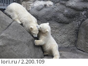 Купить «Белые медведи в Московском зоопарке», эксклюзивное фото № 2200109, снято 28 апреля 2010 г. (c) Дмитрий Неумоин / Фотобанк Лори