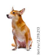 Купить «Собака», фото № 2219213, снято 13 марта 2010 г. (c) Константин Тавров / Фотобанк Лори