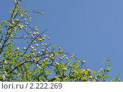 Яблоки. Стоковое фото, фотограф Гузынин Тимофей / Фотобанк Лори