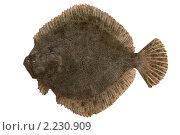 Купить «Черноморский калкан , Psetta maxima», фото № 2230909, снято 17 декабря 2010 г. (c) Goruppa / Фотобанк Лори