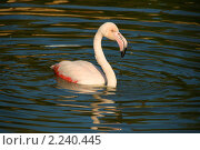 Купить «Розовый фламинго (Phoenicopterus roseus)», эксклюзивное фото № 2240445, снято 13 сентября 2009 г. (c) Щеголева Ольга / Фотобанк Лори