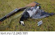 Купить «Охотничий трофей, белощекая казарка», фото № 2243181, снято 3 октября 2010 г. (c) макаров виктор / Фотобанк Лори