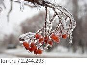 Купить «Обледеневшая веточка рябины», фото № 2244293, снято 26 декабря 2010 г. (c) Цветков Виталий / Фотобанк Лори