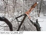 Купить «Сломанное под тяжестью льда в результате обледенения в Московском регионе дерево», фото № 2244297, снято 26 декабря 2010 г. (c) Цветков Виталий / Фотобанк Лори
