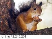 Белка с орехом в лапах. Стоковое фото, фотограф Владимир Борисов / Фотобанк Лори