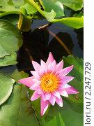 Купить «Раскрывшийся бутон цветка лотоса в пруду», фото № 2247729, снято 10 декабря 2010 г. (c) Николай Винокуров / Фотобанк Лори