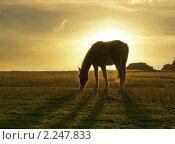 Пасущаяся лошадь на закате. Стоковое фото, фотограф ASA / Фотобанк Лори