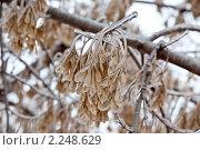 Купить «После ледяного дождя», фото № 2248629, снято 26 декабря 2010 г. (c) Parmenov Pavel / Фотобанк Лори